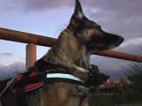 concours de chiens de sauvetage