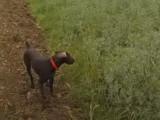 Lacaune (81) . Concours de chasse au chien d'arrêt