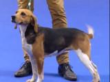 Sélection Beagle-harrier - Championnat de France du chien de race