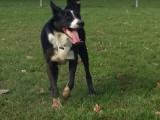 Le Canirun, une nouvelle activité sportive pour les chiens