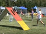 Prestation d'un Berger Américain Miniature lors de concours d'agilité