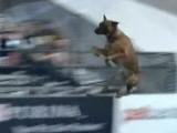 Record du monde de saut en longueur par un Berger Malinois