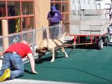 Un mastiff tracte plus de 2 tonnes rien qu'avec sa force !