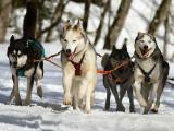 Les sports de traîne sur neige : traîneau à chiens, pulka et ski-joëring