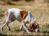 Faire du pistage avec son chien : le chien de piste