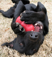 L'histoire des jouets KONG pour chien