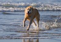 Le principe des manteaux rafraîchissants pour chien