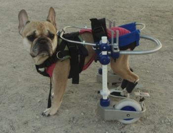 mat riel orthop dique pour chiens paralys s. Black Bedroom Furniture Sets. Home Design Ideas