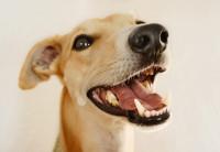 La dentition des chiens adultes