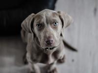 Le prix du chien varie en fonction de son origine
