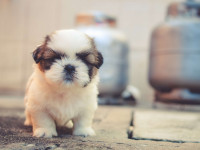 Pourquoi un chien LOF coûte-t-il cher?