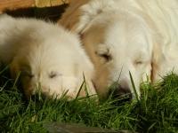 Adopter un chiot ou un chien adulte
