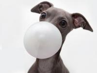 Le chewing-gum : mortel pour le chien