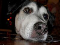 Ne pas céder à la gourmandise du chien