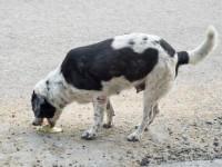 Comment détecter une intoxication alimentaire du chien, et comment réagir