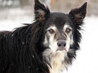 Les besoins nutrionnels du chien âgé