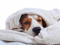 À quelle hauteur est-on indemnisé avec une assurance santé canine ?