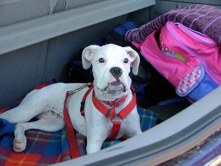 le mal des transports chez le chien. Black Bedroom Furniture Sets. Home Design Ideas
