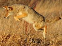 Les différentes variétés de coyotes
