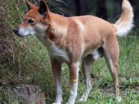 La physiologie du dingo