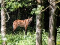 Un loup à crinière (Chrysocyon brachyurus)