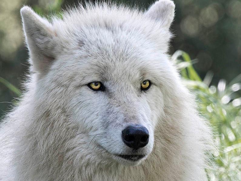 Le loup caract ristiques et diff rences avec le chien - Differentes especes de pins ...