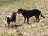 Bien réagir à la curiosité de son chien pour un autre chien