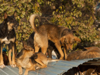 La hiérarchie d'une meute de chiens