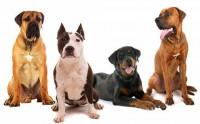 Comment choisir un bon chien de garde ?