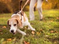 Interdire à son chien d'explorer durant sa promenade