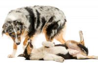 Les signaux visuels du chien