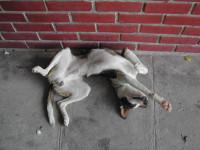 Déchiffrer les postures couchées de son chien