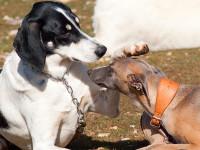 Pourquoi le chien utilise-t-il des signaux d'apaisement ?