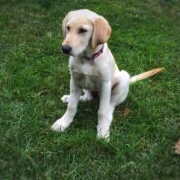 La puberté canine