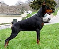 Les qualités d'un bon chien de garde