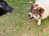 Quelles raisons peuvent expliquer l'agressivité d'un chien vis-à-vis d'un congénère ?