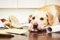 Manifestations de l'anxiété de séparation chez le chien