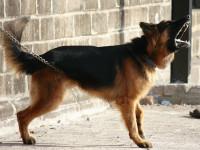 Y-a-t-il des profils type de chiens plus aboyeurs que d'autres ?
