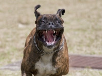 Que faire si le chien est réticent ou s'il attaque ?