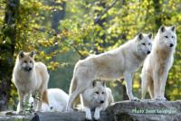 Tous les chiens descendraient du loup