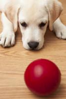 Les réactions du chien au test du jouet de Quéinnec