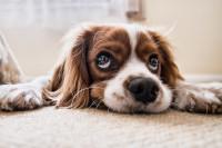 Les signes du deuil chez le chien