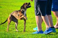 Promenade sereine du chien : l'indispensable rappel