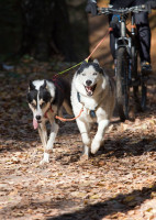 Les races de chiens adaptées à la pratique du Cani-VTT