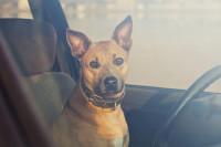 Comment réagir face à un chien ou un chat risquant un coup de chaleur ?