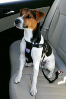 Le harnais ou ceinture de sécurité pour chien