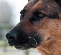 L'anatomie du nez du chien