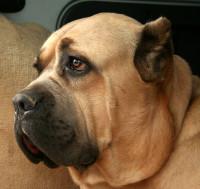 Le cane corso, de la famille des molossoïdes