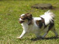 Le Capricorne est un chien robuste et résistant