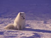Un renard polaire (Alopex lagopus)